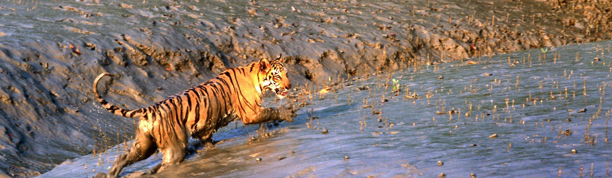 Tiger Tiger långsam dating Dating kristen gratis
